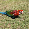 New Baby - Pepper : Green Wing Macaw